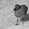 Birds of the Galapagos : Entered in B&W Magazine's 2012 Portfolio Contest